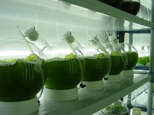 Cultivation of Algea in Laboratories