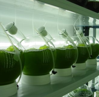 Cultivation of Algae:  Microalgae, Macro algae  and more…