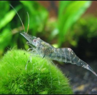 Ghost-Crystal Shrimps: Everything  you should know  about them