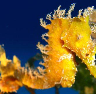Seahorse: Characteristics, reproduction, habitat and more