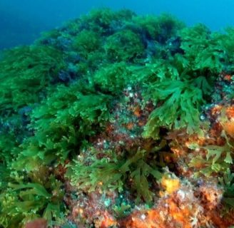 Marine Algae:  characteristics, classification,  benefits and more…