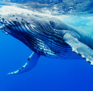 Baleen  Whales: All  you need to know  about them…