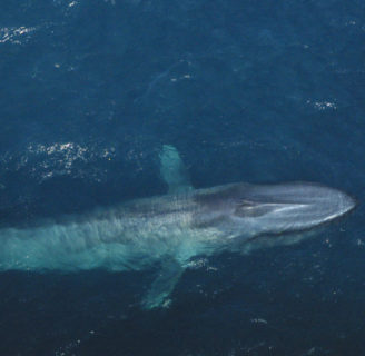 Blue Whales: Characteristics, threats  and more, about the biggest creature ever