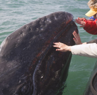 Gray Whales: Main characteristics of the traveler whales