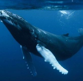 Humpback Whales: Characteristics, customs  and much more