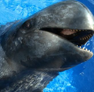 Pilot Whales: Everything about these lovely specimens…