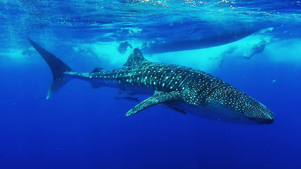 the biggest whales of the world: whale shark