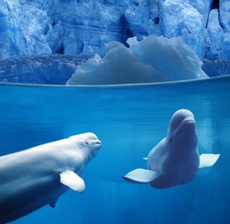 Beluga White Whale: Characteristics of the most  lovely whale in the world