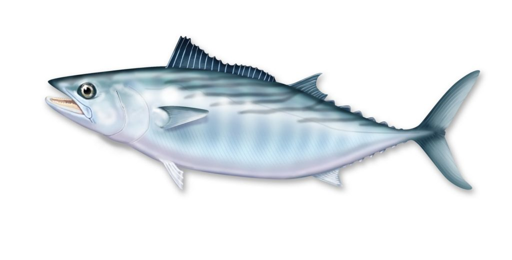bonito fish: atlantic bonito