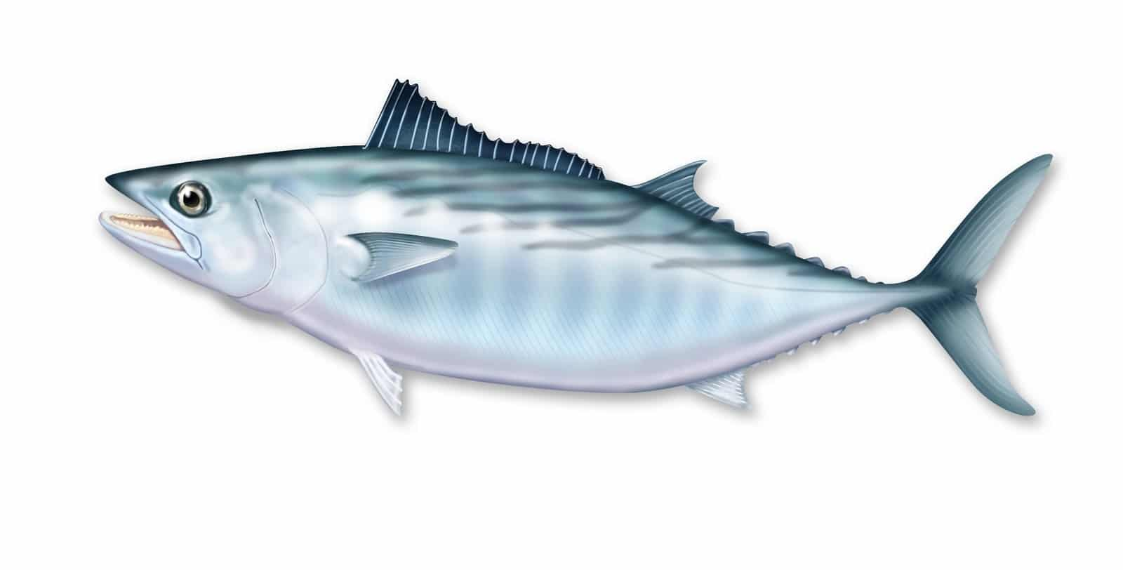 Bonito Fish Characteristics Habitat Properties And More