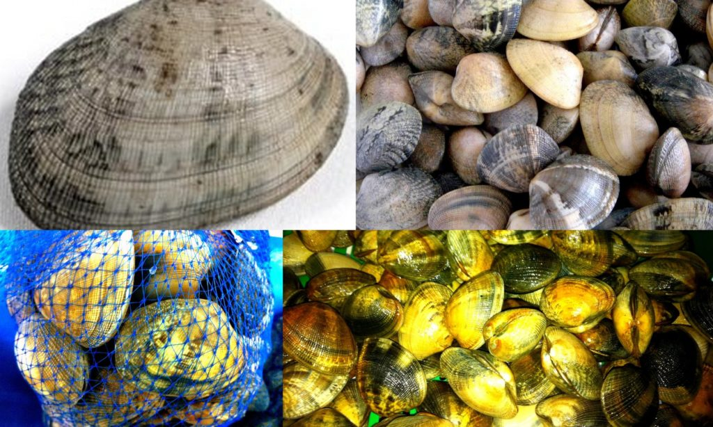 clams: diffferent types of clams
