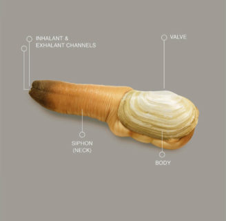 Geoduck Clams: Everything you need to know  about them
