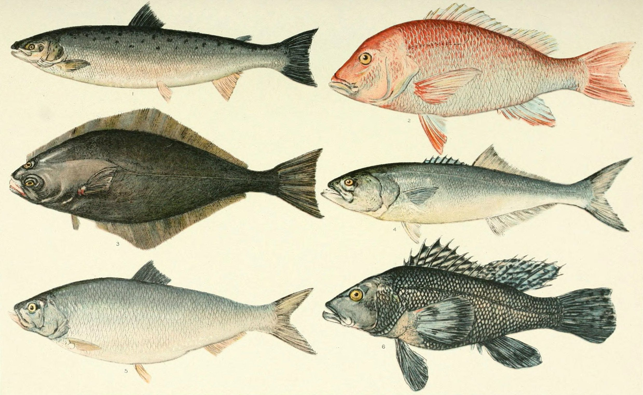 Giant Tuna: Everything you should know about this species