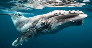 Humpback whales: luban, a satellital-tracked whale