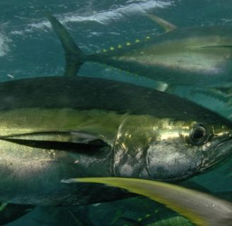 Yellowfin Tuna: Characteristic, properties, benefits  and more