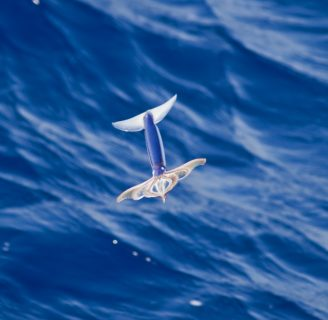 Flying Squids: Everything you need to know about them