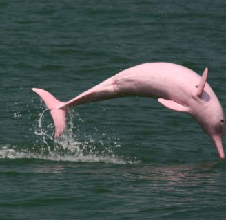 Amazon Pink Dolphins: Characteristics, habitat, threats and more