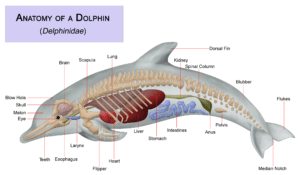 Dolphins: dolphins anatomy