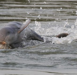 Endangered Dolphins:  What can we do to reverse this situation?