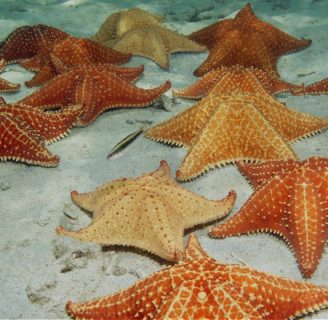 Red Cushion Starfish: Everything you need to know about this species