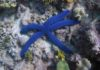 Blue Starfish:  Everything about this beautiful marine species