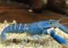 Crayfish: Characteristics, reproduction, care, and more…