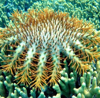 Crown-Of-Thorns Starfish: Everything  you should know about them