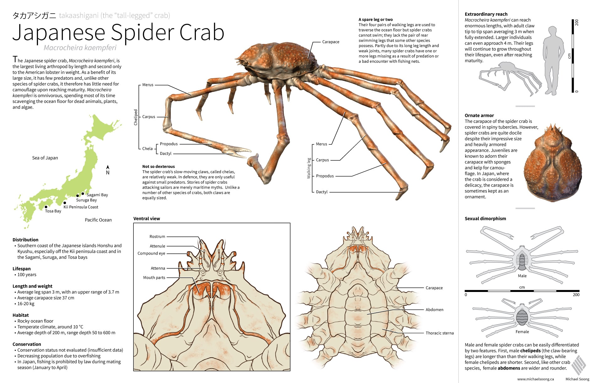Japanese Spider Crabs: All About The Giant and Scary Crabs