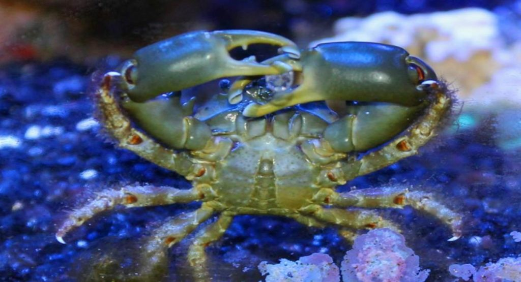 poisonous crabs: emerald crab