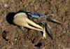 Fiddler Crabs: Characteristics, nutrition, curiosities and more