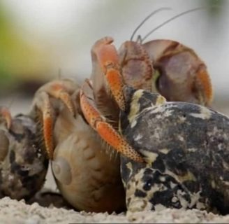 Hermit Crabs: Characteristics, care, breeding and more