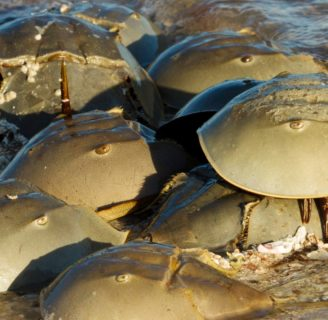Horseshoe Crabs: Everything you need to know about this species