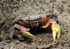 Mangrove Crabs: Types, main characteristics and importance