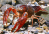 Red Crabs: Characteristics, reproduction care and more