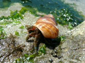 what do hermit crabs eat: blue-banded hermit crab