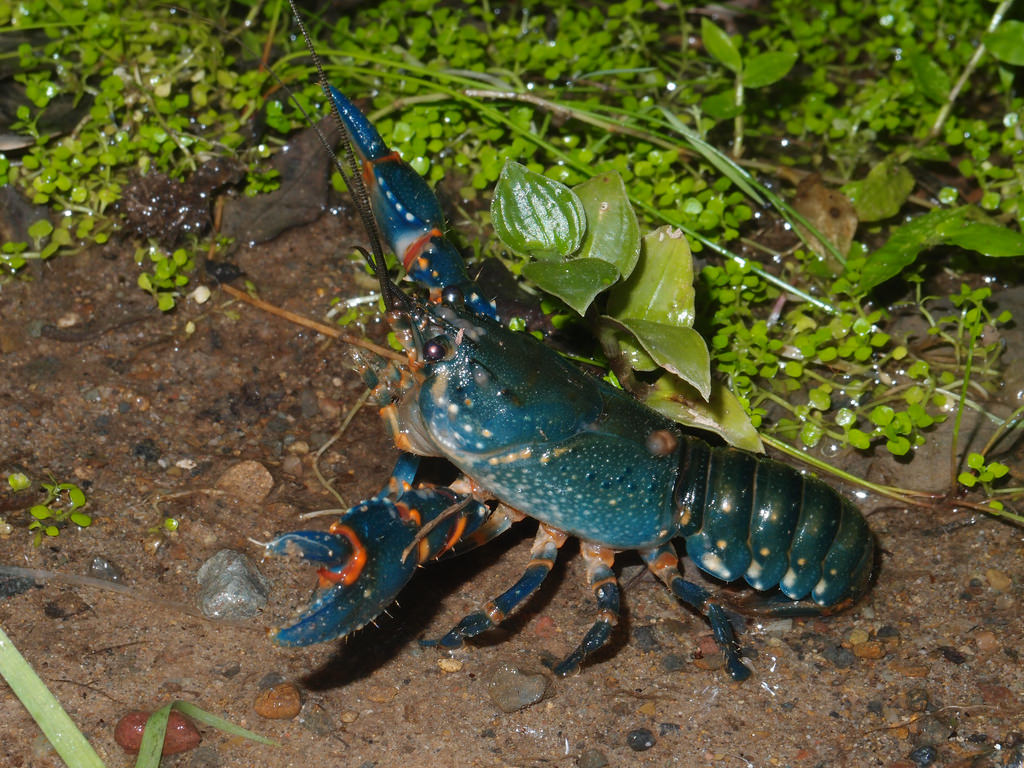 Blue Crayfish Everything You Need To Know About This Species