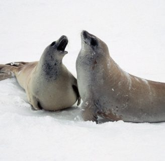 Crabeater Seals: Characteristics, reproduction, feeding habits and more