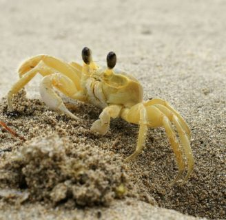 Ghost Crabs: Characteristics, anatomy and habitat