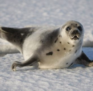 Harp Seals: Characteristics, habitats, reproduction and more.