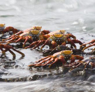 Sea Crabs: Characteristics, reproduction and much more