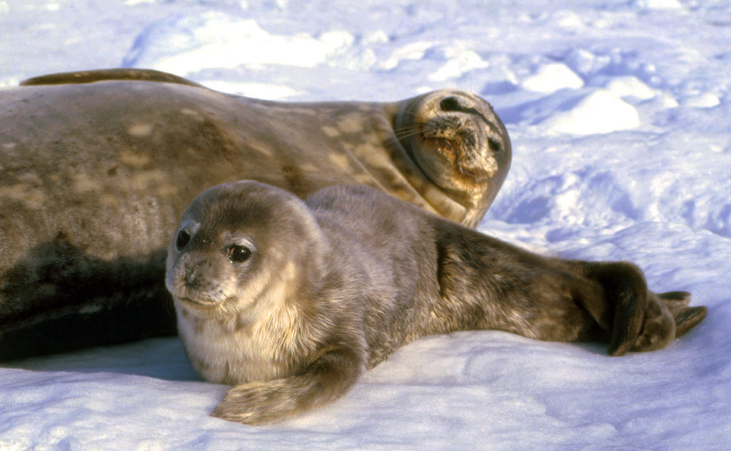 weddell seals : mother and pup