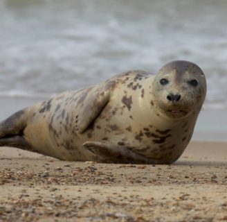 Grey Seals: Characteristics, habitats, reproduction and more
