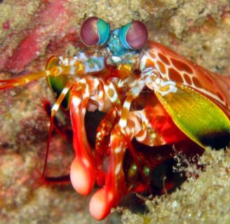 Mantis Shrimps: Characteristics, properties, reproduction and more
