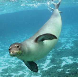Mediterranean Monk Seals: Characteristics, habitat and more