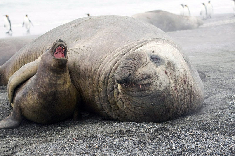 the seals : southern elephant seals male and female