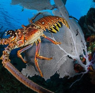 Spiny Lobsters: Characteristics, reproduction, habitats and more.