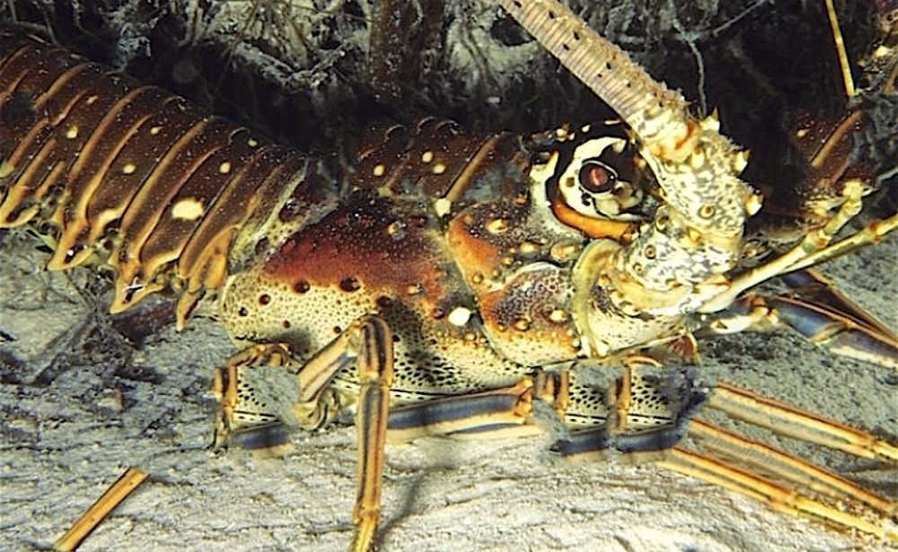 spiny lobsters : walking on the sea bed