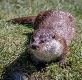 Eurasian Otters: Characteristcs, habitat, behavior and more