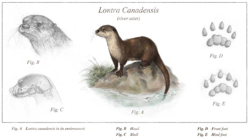 river otters : lontra canandensis