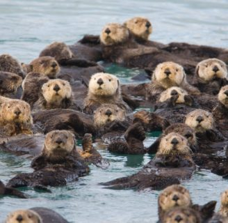 Sea Otters: Characteristics, types, habitas and more